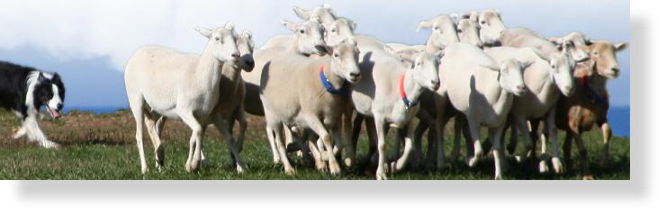 Border_Collie_sheepdog_trial-SH740x240.jpg